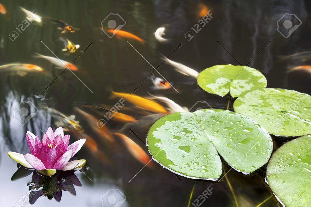 Lily pad leaf and pink flower floating in koi fish pond stock photo lily pad leaf and pink flower floating in koi fish pond stock photo 21156415 izmirmasajfo