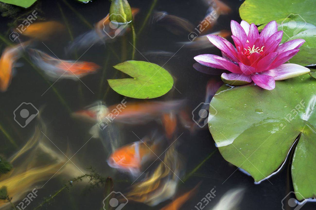 Koi fish swimming in pond with water lily flower and lilypad stock koi fish swimming in pond with water lily flower and lilypad long exposure stock photo izmirmasajfo Images