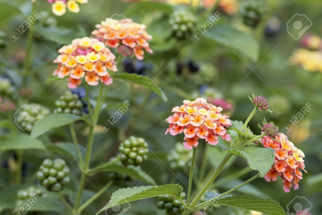 Lantana Blumen Und Beeren Pflanze Sträucher In Garten Lizenzfreie