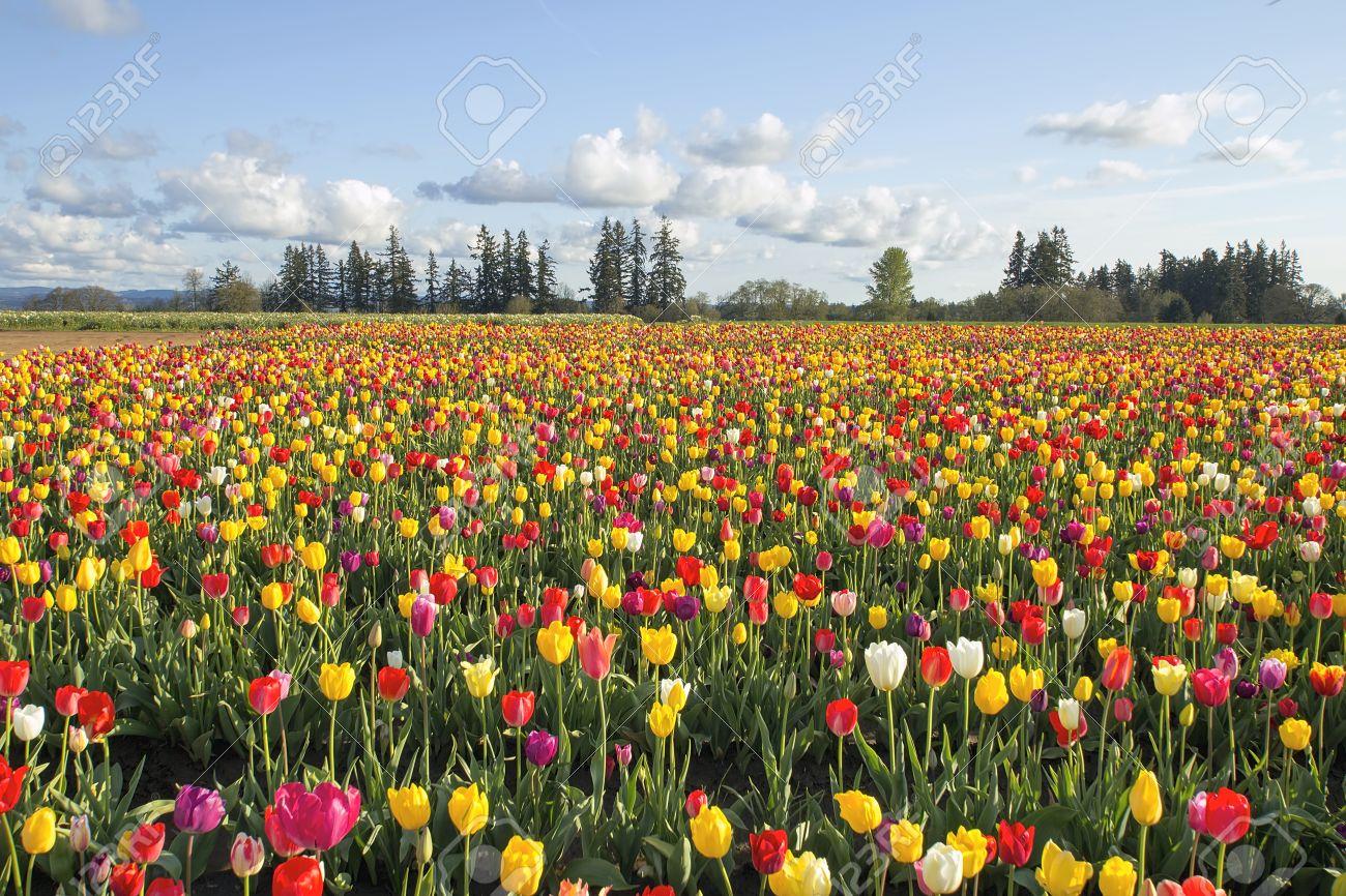 Field of colorful tulip flowers in bloom during spring season field of colorful tulip flowers in bloom during spring season landscape at oregon tulip farm stock mightylinksfo