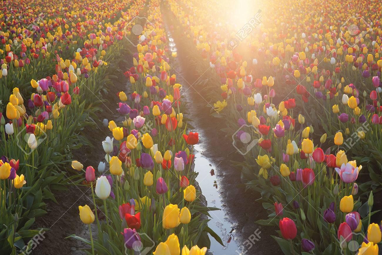 7434894de17c Colores multi del tulipán Filas Flores que brillan en el sol durante la  temporada de primavera