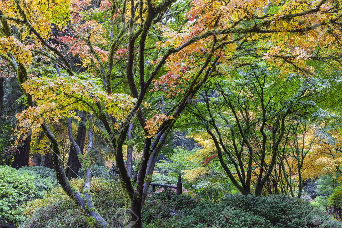 Japanese Maple Trees Fall Color Foliage By The Moon Bridge At