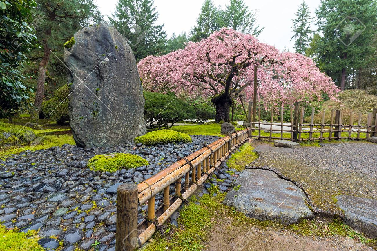 Cherry Blossom Tree In Bloom By Natural Landscaping Rock At Japanese Garden Spring Season Stock