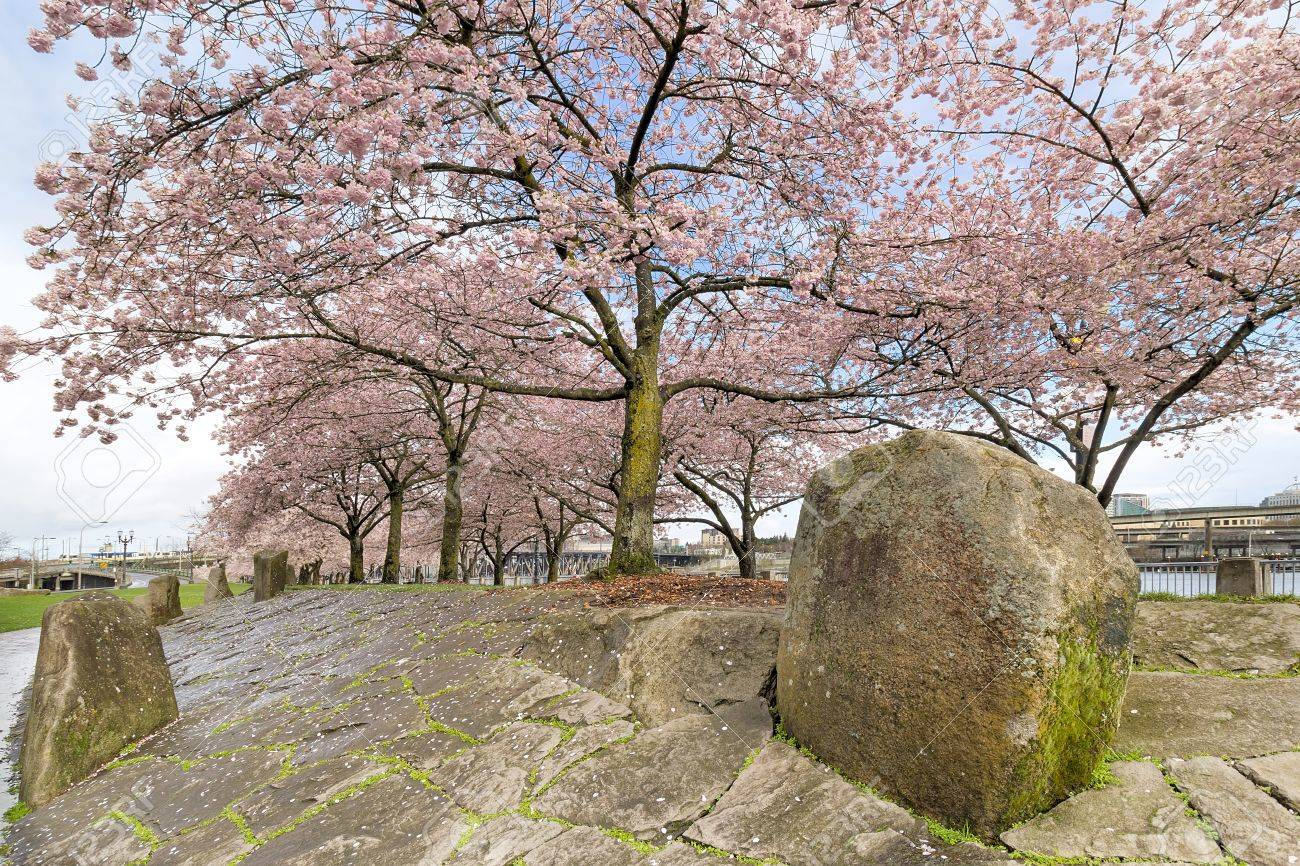 Cherry Blossom Trees With Pink Flowers In Full Bloom With Large