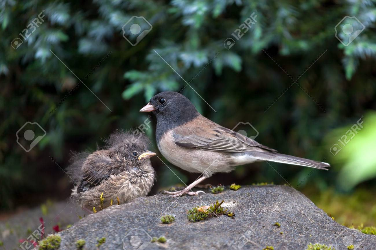 Dark-eyed Junco Bird Mother And Baby Chick Perched On Rock In Garden Backyard In Oregon Stock Photo, Picture And Royalty Free Image. Image 56631703.