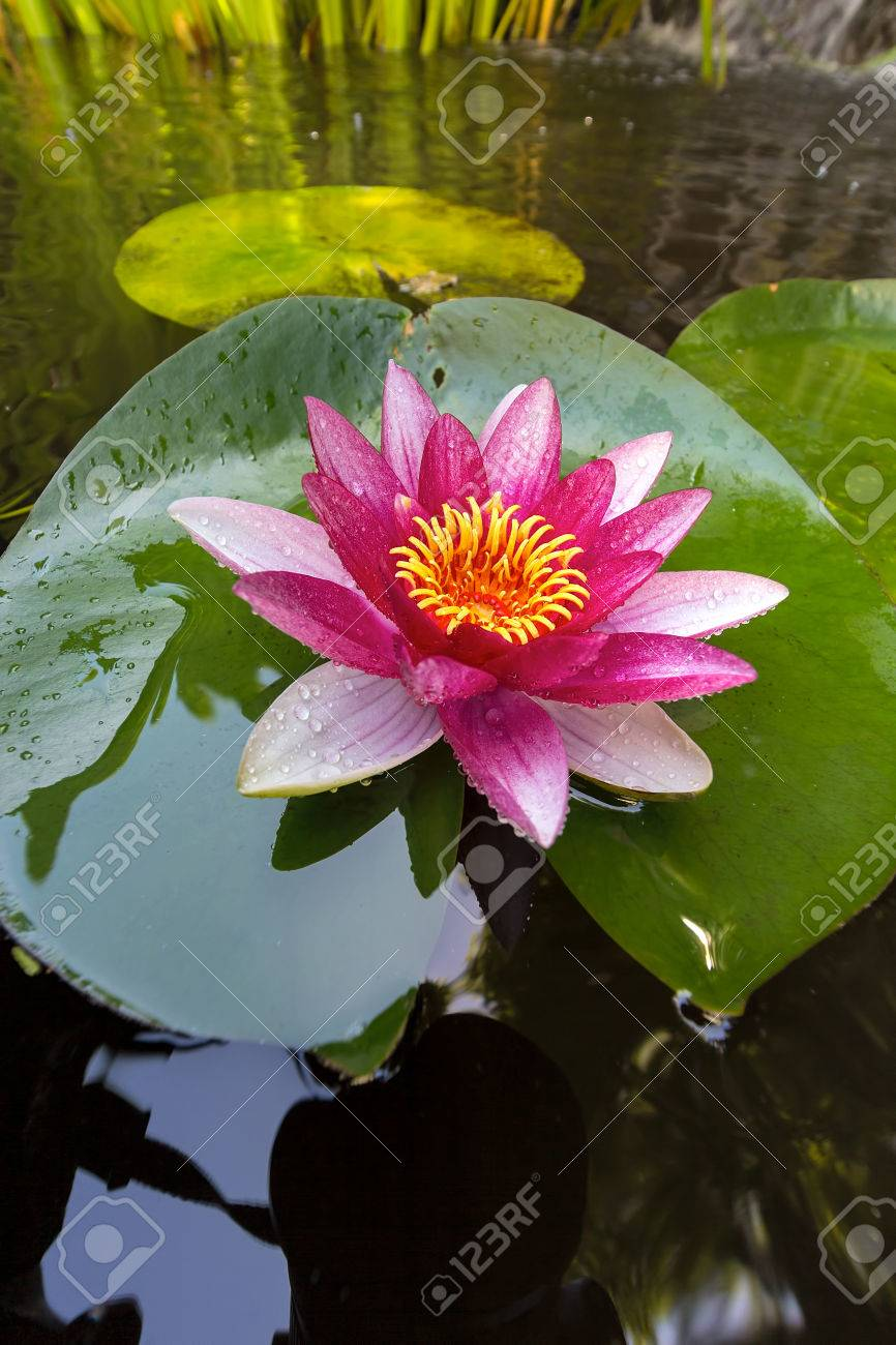 Pink water lily flowers in bloom with lilypad in garden backyard pink water lily flowers in bloom with lilypad in garden backyard pond closeup stock photo izmirmasajfo Images