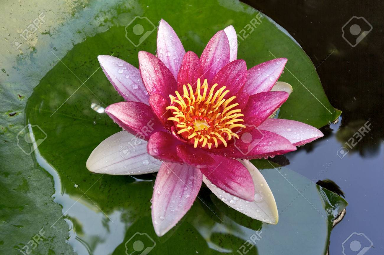 Lily pad flowers gallery flower wallpaper hd 3456x2304 lily pad wallpapers a pink flower on top of a lily pad stock photo top view of two yellow and pink nymphaea lily pad flowers cartoon lily pad izmirmasajfo