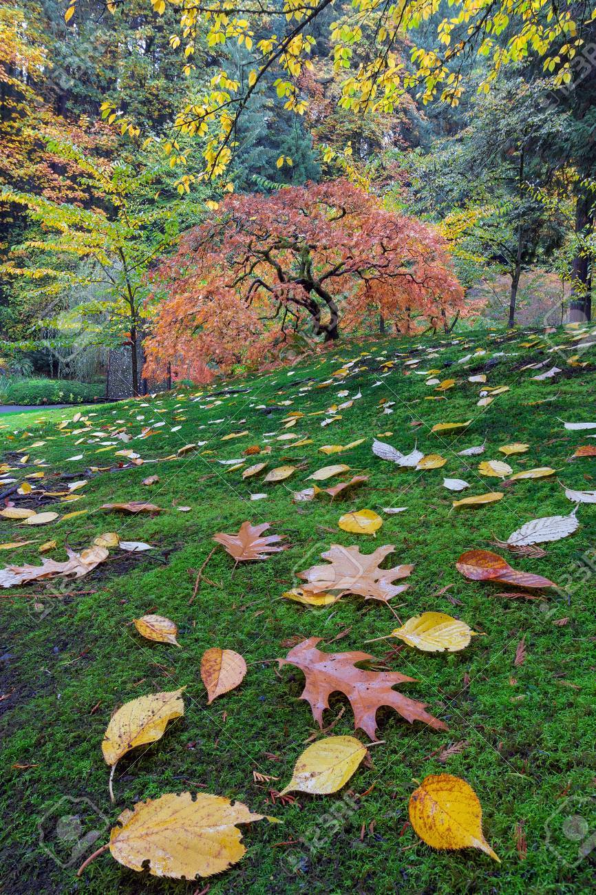 Japanese Maple Tree On A Green Mossy Slope With Fall Foliage.. Stock ...