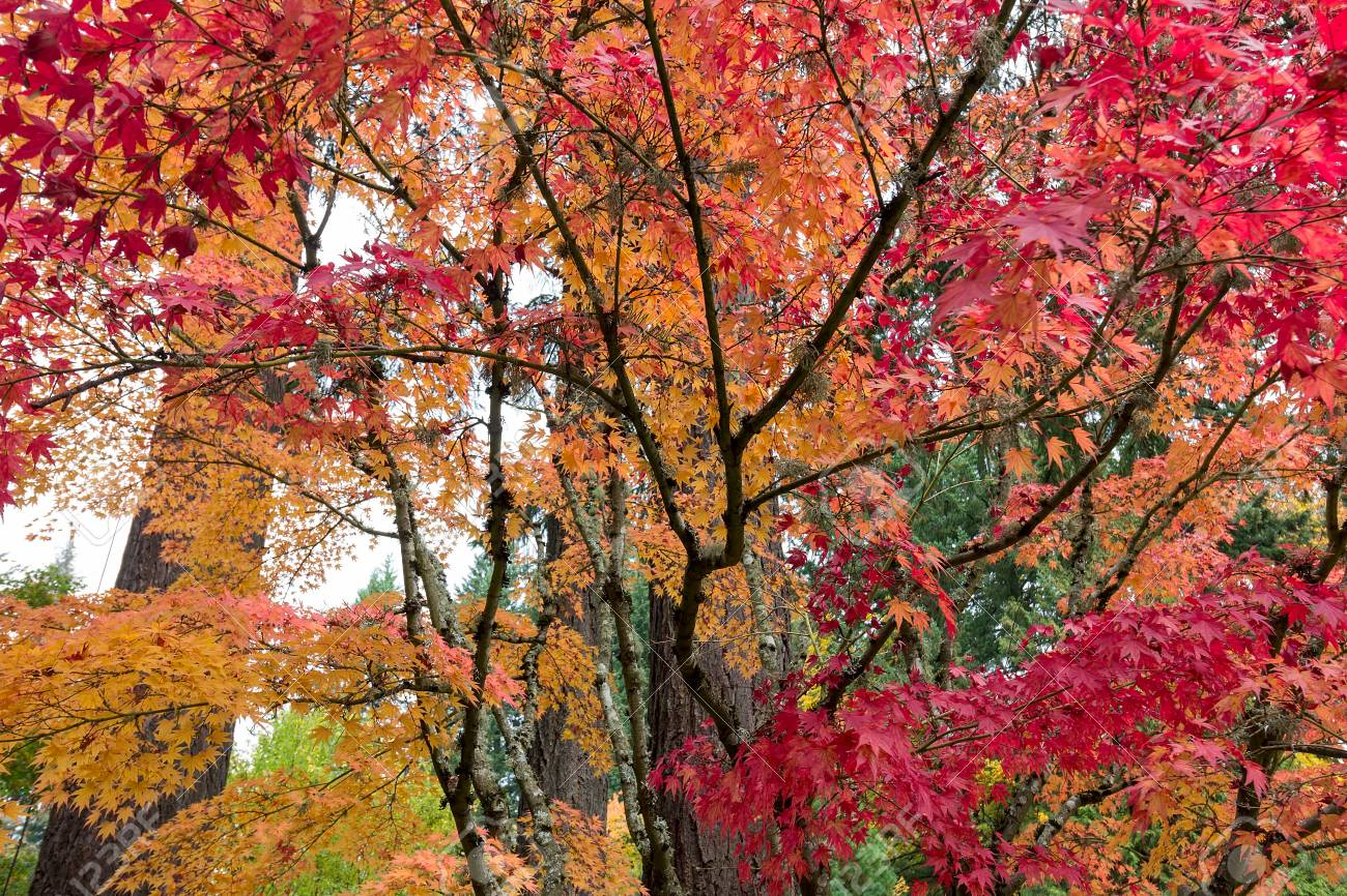 Japanese Maple Trees In Fall Color During Autumn Season Stock