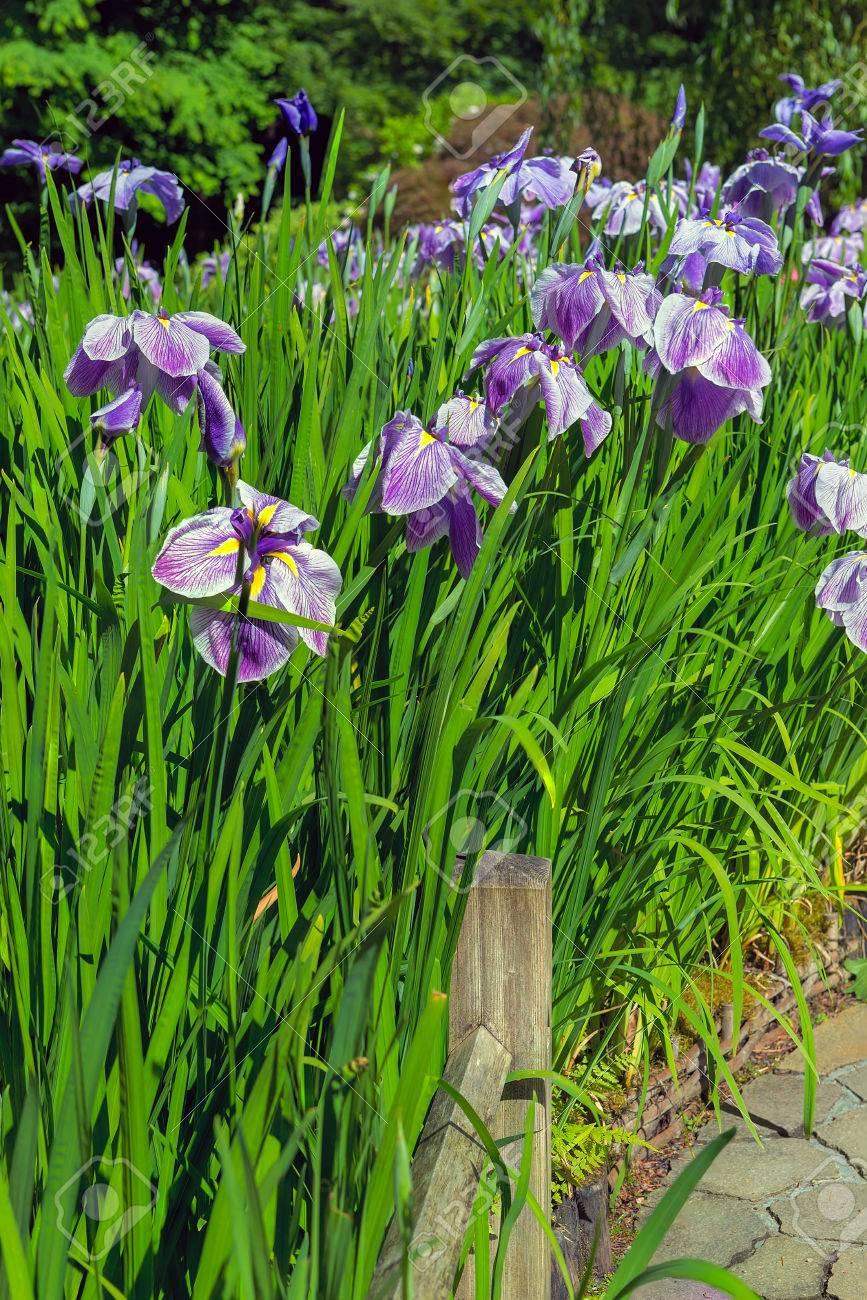 Purple siberian iris flowers bud cluster in bloom along garden purple siberian iris flowers bud cluster in bloom along garden path in japanese garden in late izmirmasajfo
