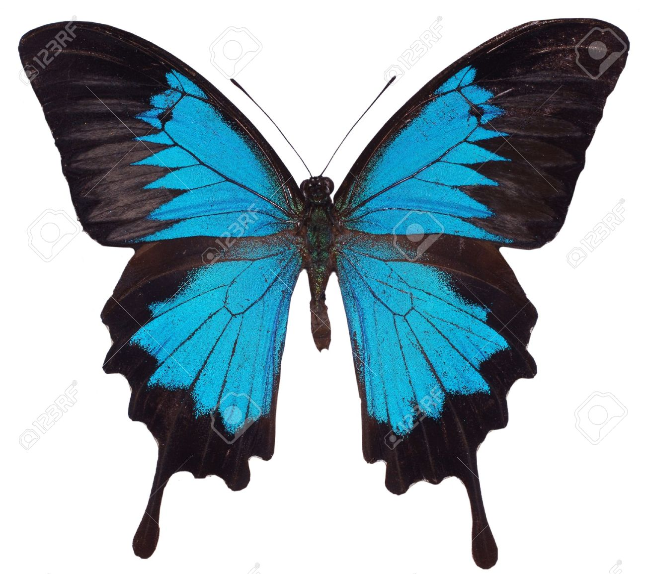 Blue Butterfly. Swallowtail species Stock Photo - 8474696