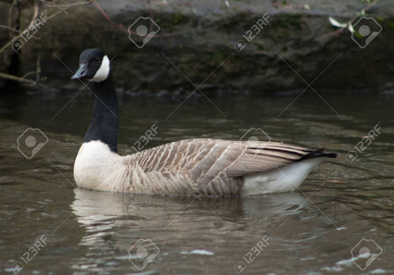 canada goose logo right or left