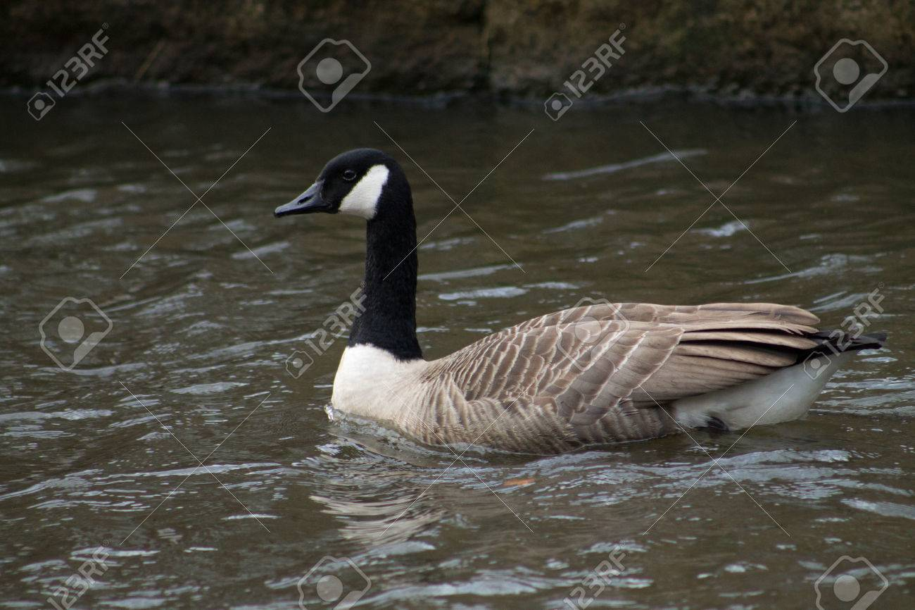 Canada Goose jackets outlet discounts - Canada Goose In Turquoise Water, Copy Space Available Stock Photo ...
