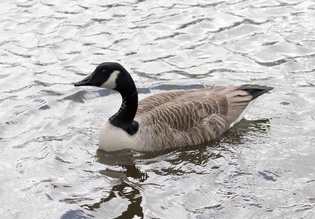 the best attitude 82909 688f3 Canadese gans, één vogel, zwemmen van rechts naar links