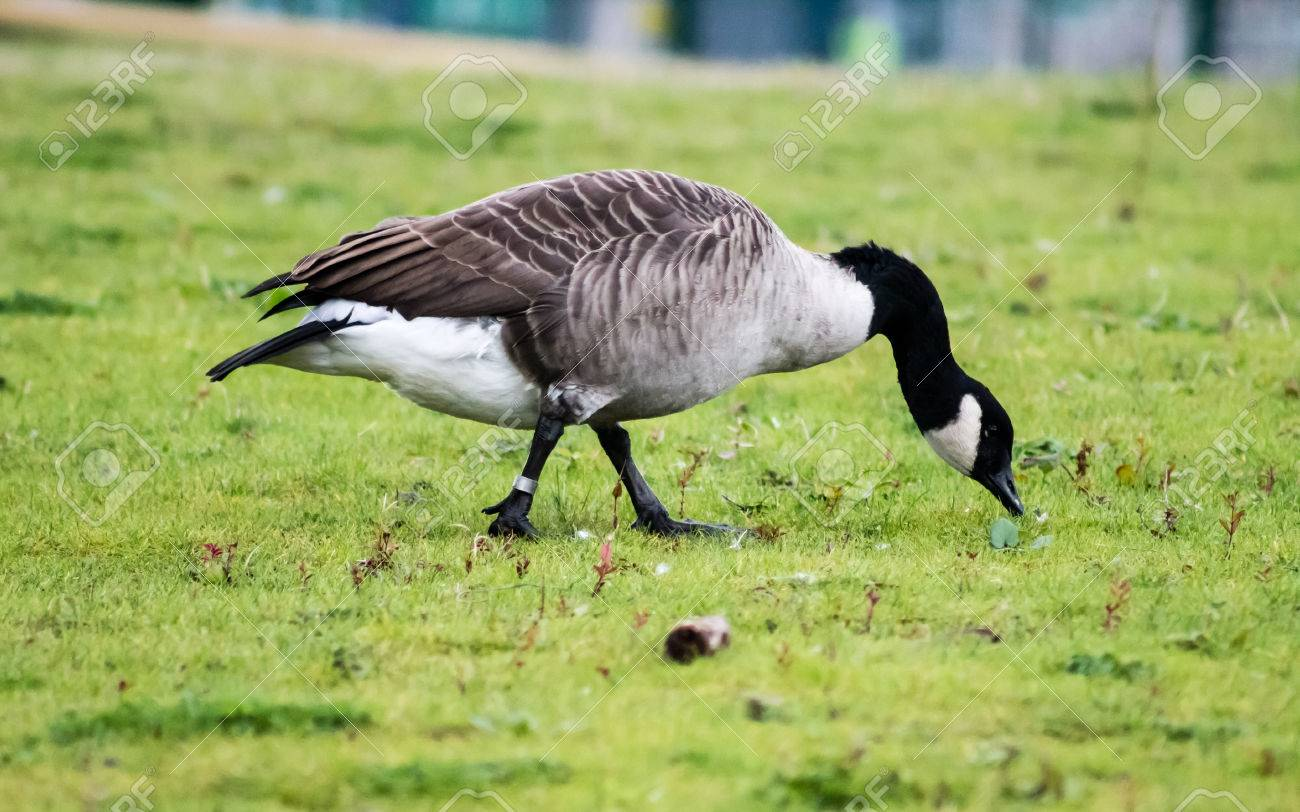 Canada Goose jackets online store - Canada Goose (Branta Canadensis), Foraging Food From The Grass ...