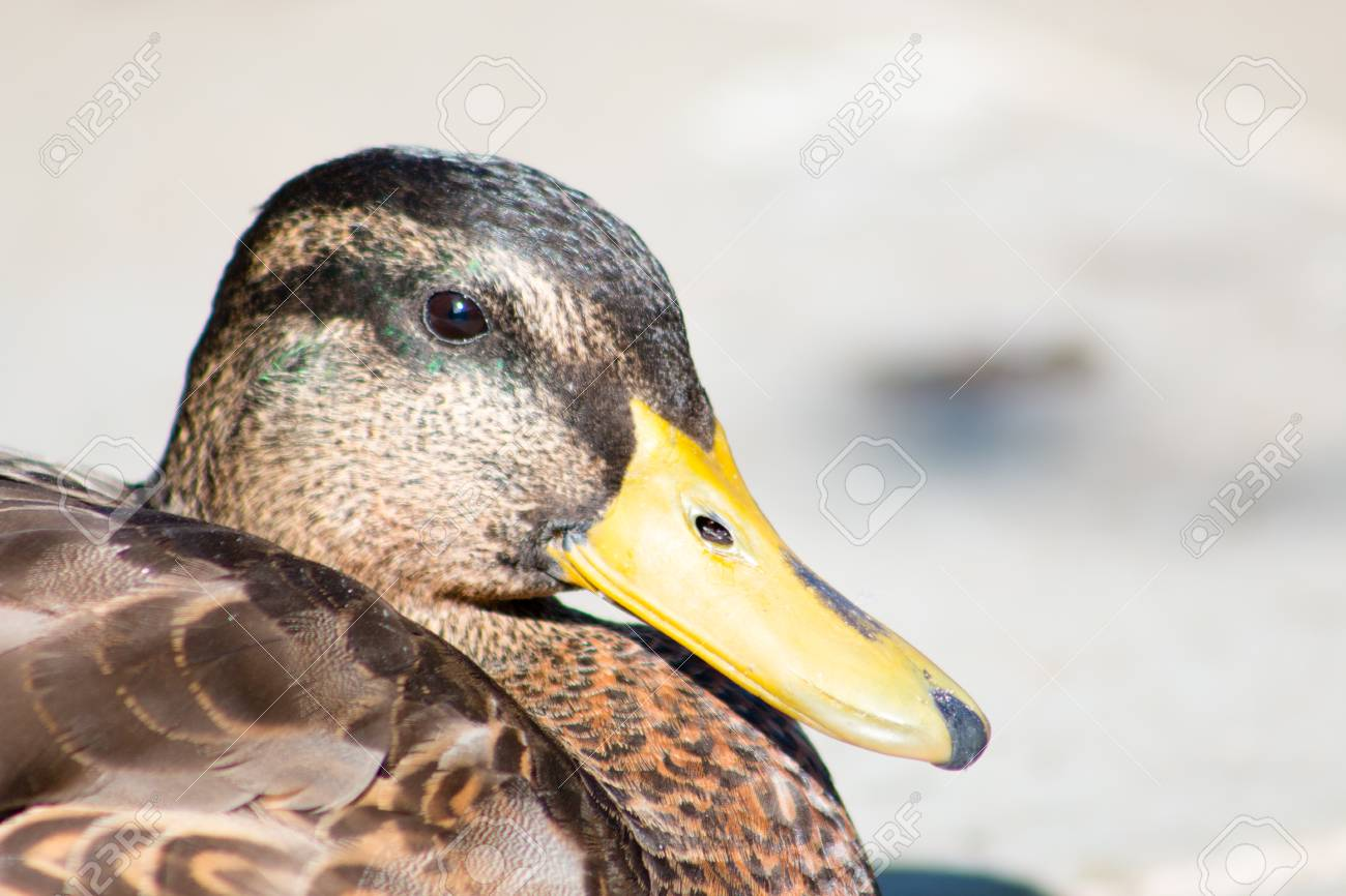 Female Mallard Duck Resting On Concrete