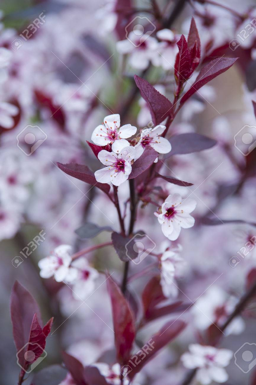 A Garden Tree With Dark Red Leaves And White Stpring Flowers Stock