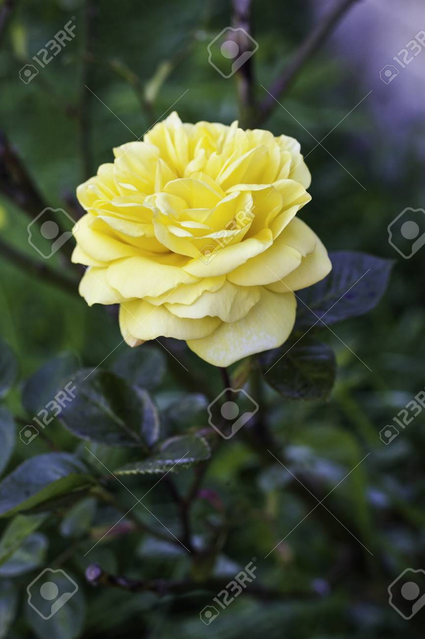 Single beautiful yellow rose blooming on a bush outdoors with copyspace Stock Photo - 15779985