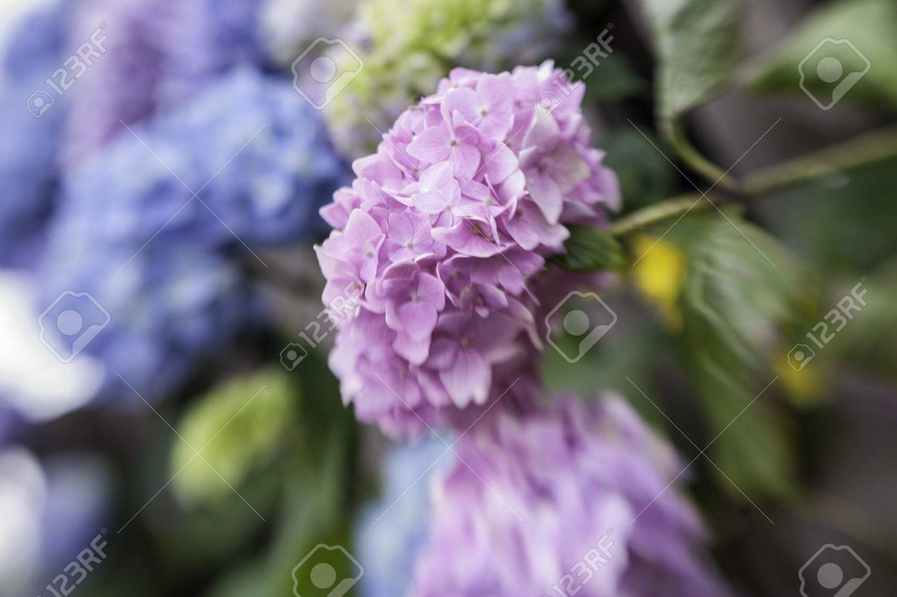 Abstract background of a blue hydrangea flower head showing the clusters of small pale blue flowers with shallow dof taken with a lensbaby Stock Photo - 15780055