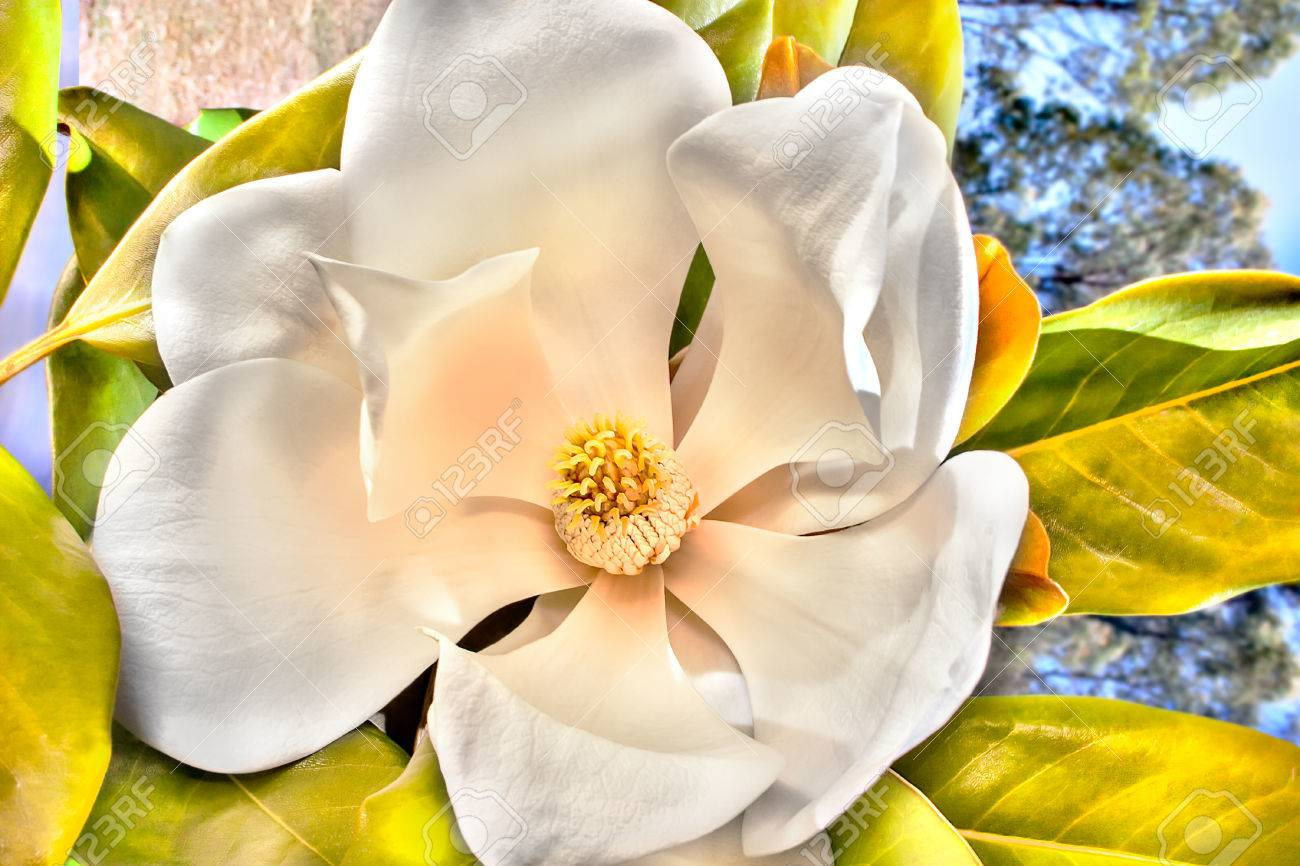 White flower with large petals called magnolia blossomed showing stock photo white flower with large petals called magnolia blossomed showing beautiful shaped stigma of the middle there are green leaves can be seen mightylinksfo