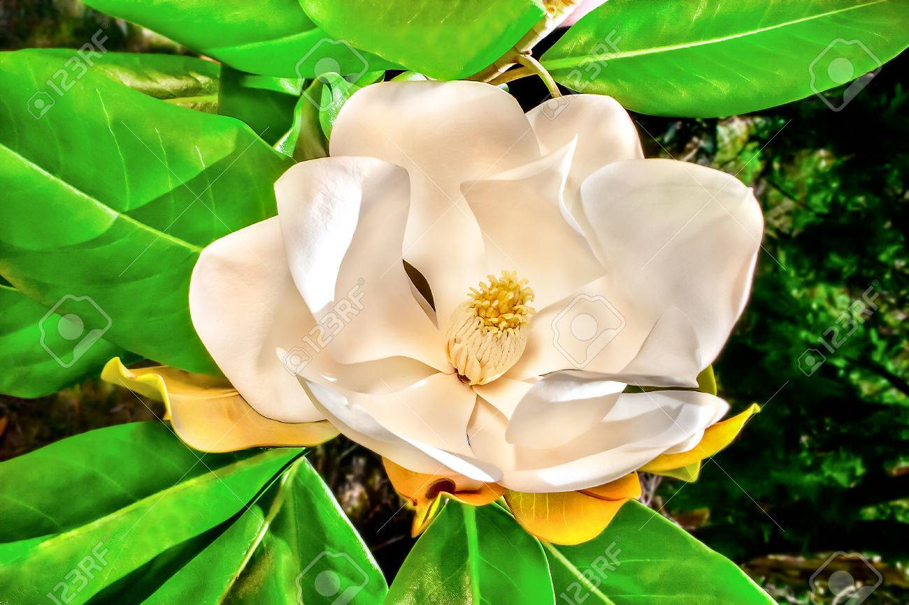 White Magnolia Flower With Large Petals Around Yellow Stigma Stock