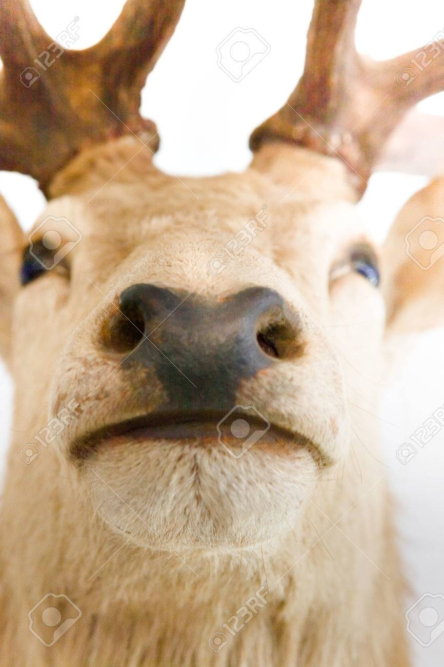 Closeup of an elk or deer muzzle and nose head is blurred from closeup of an elk or deer muzzle and nose head is blurred from the upper publicscrutiny Image collections