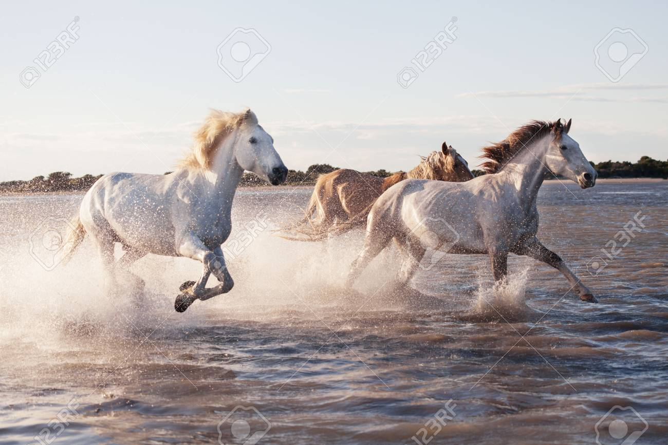 White Horses Running In The Water Stock Photo Picture And Royalty