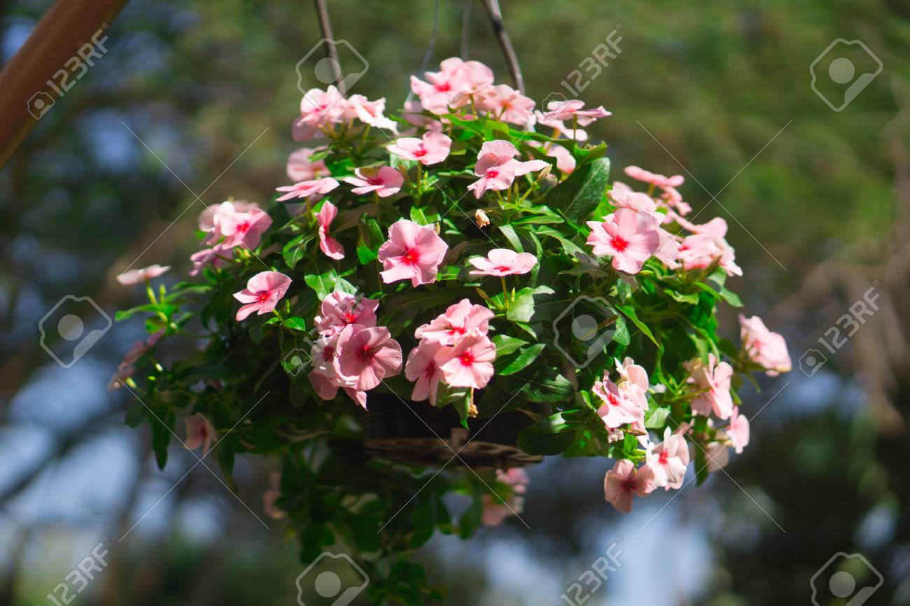 Beautiful Flowers In Hanging Flower Pots Stock Photo Picture And