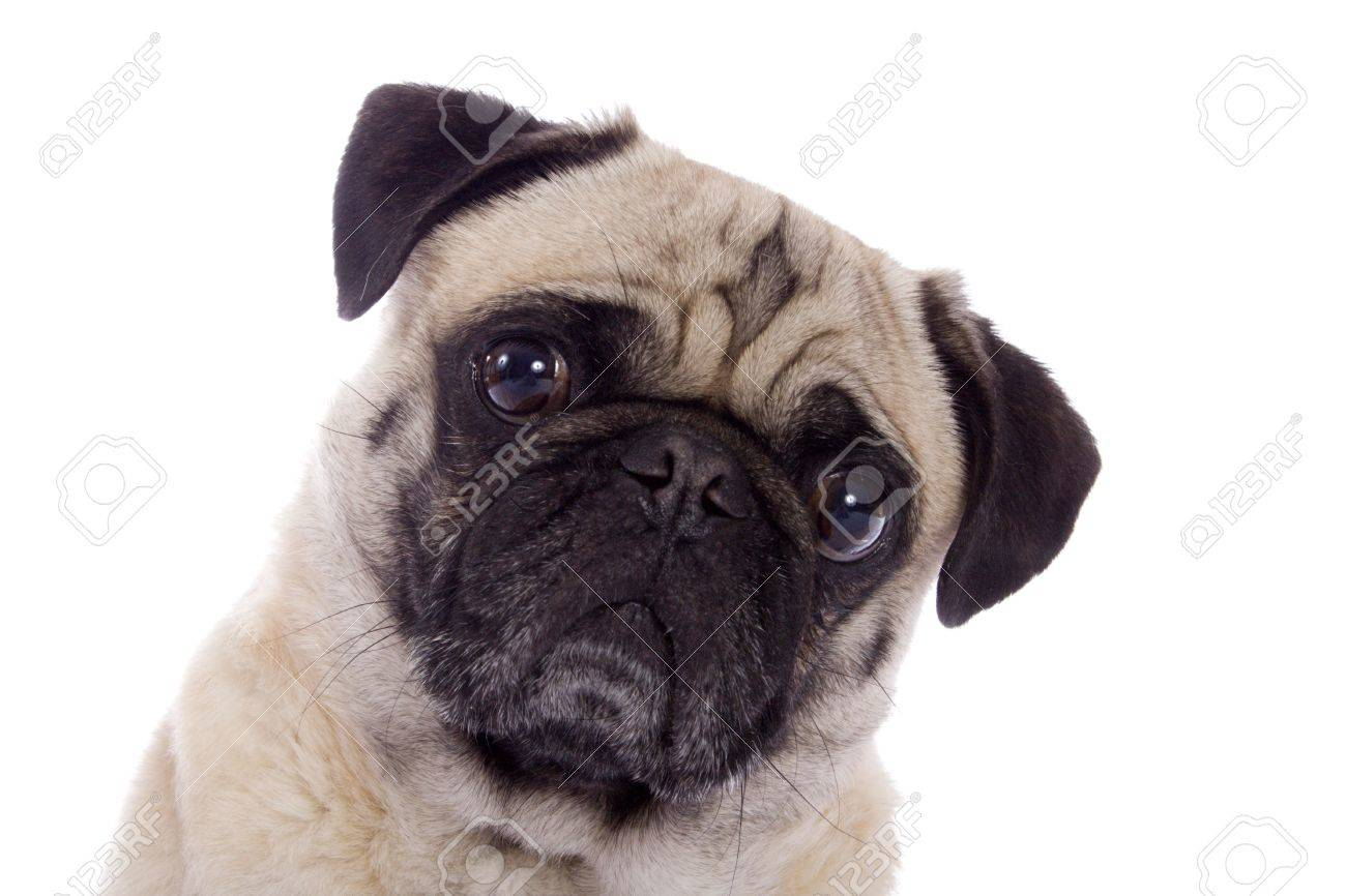 portrait of a fawn colored pug dog stock photo picture and