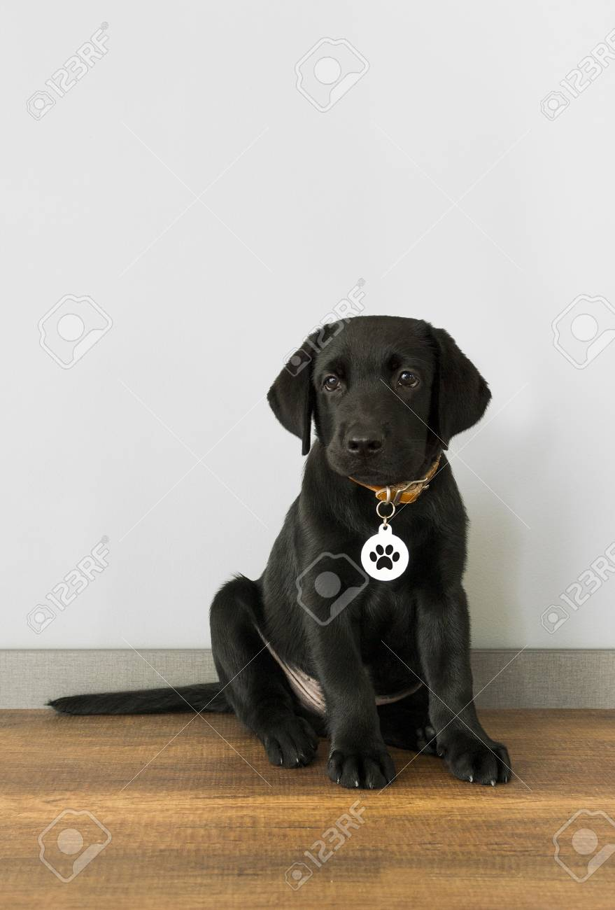 Black Labrador Retriever Puppy 5 Months Old Sitting In Front Stock Photo Picture And Royalty Free Image Image 102166265