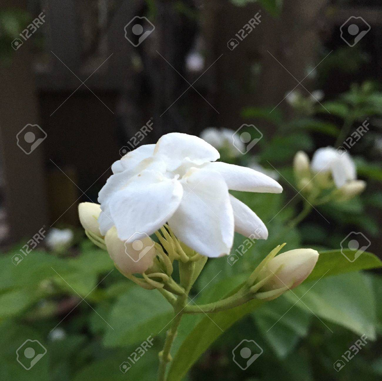 The Jasmine Exudes Sweet Like Fragrant That Is Soothing To The
