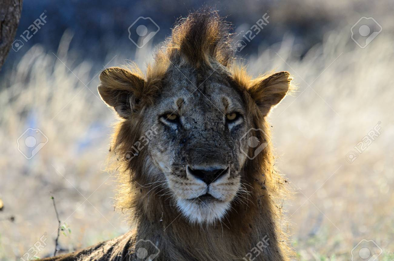Male Lion With A Bad Hair Day Stock Photo Picture And Royalty Free