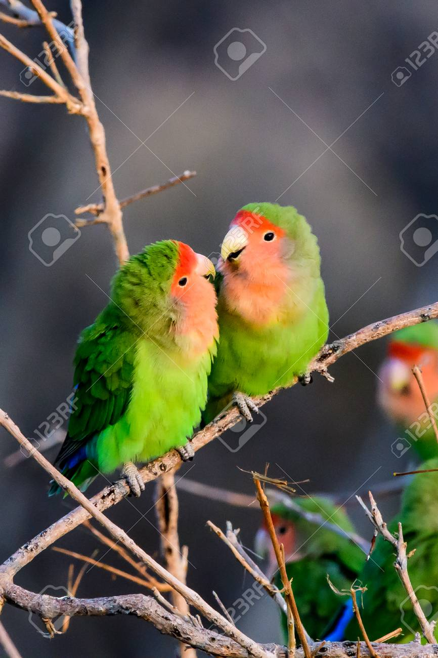 Two Romantic Rosy Faced Lovebirds Stock Photo Picture And Royalty