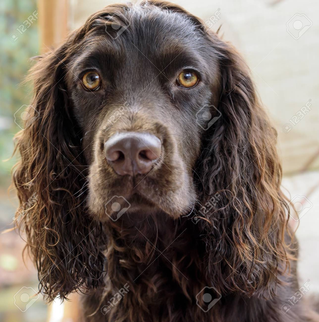 Beautiful Face Of A Chocolate Cocker Spaniel Stock Photo Picture And Royalty Free Image Image 93144501