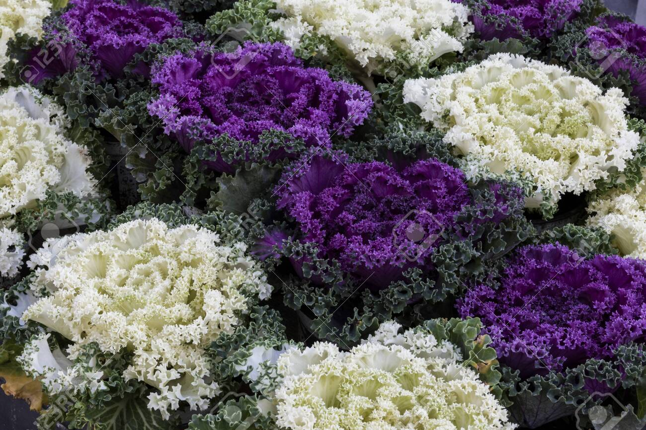 Ornamental Cabbages Of Autumn Purple And White Brassica Oleracea