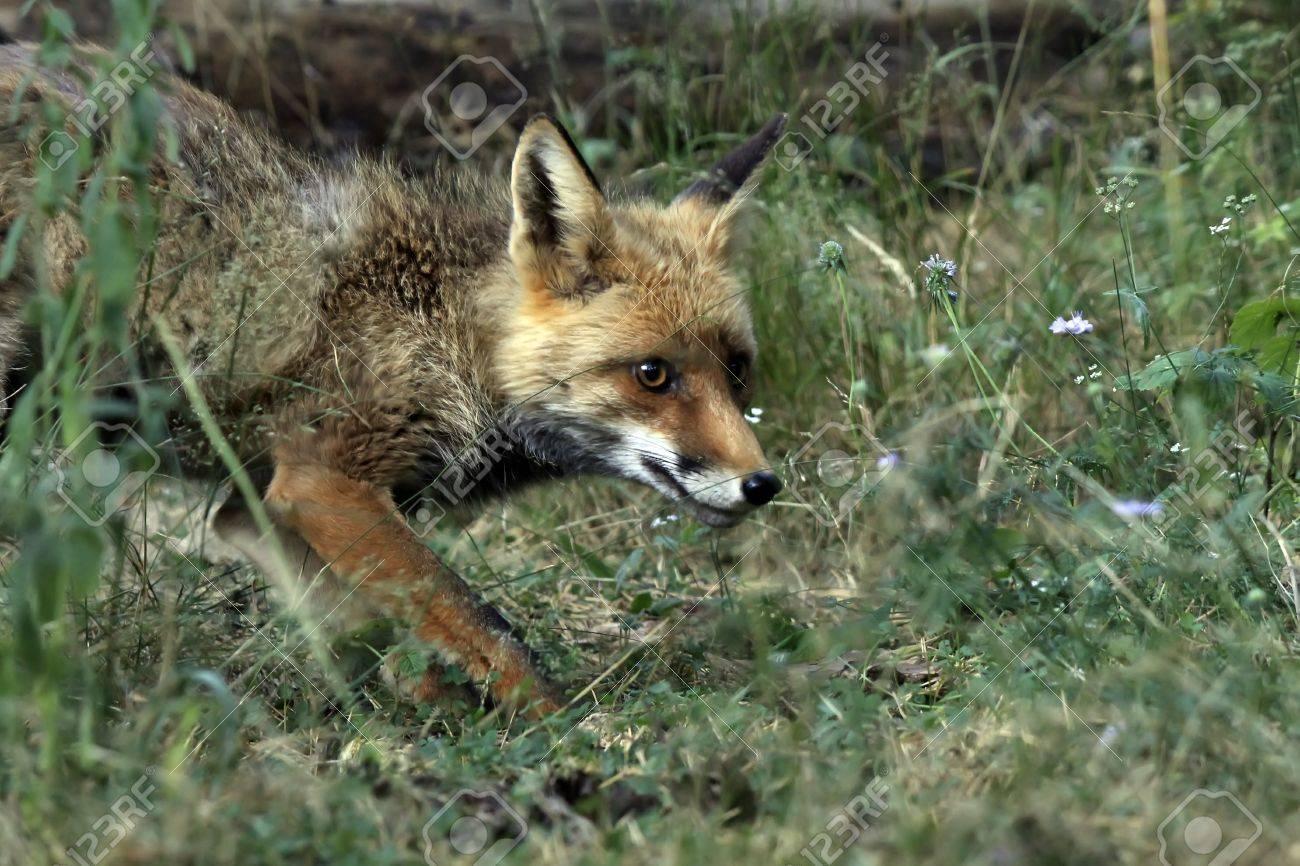 Resultado de imagen de un zorro en la selva