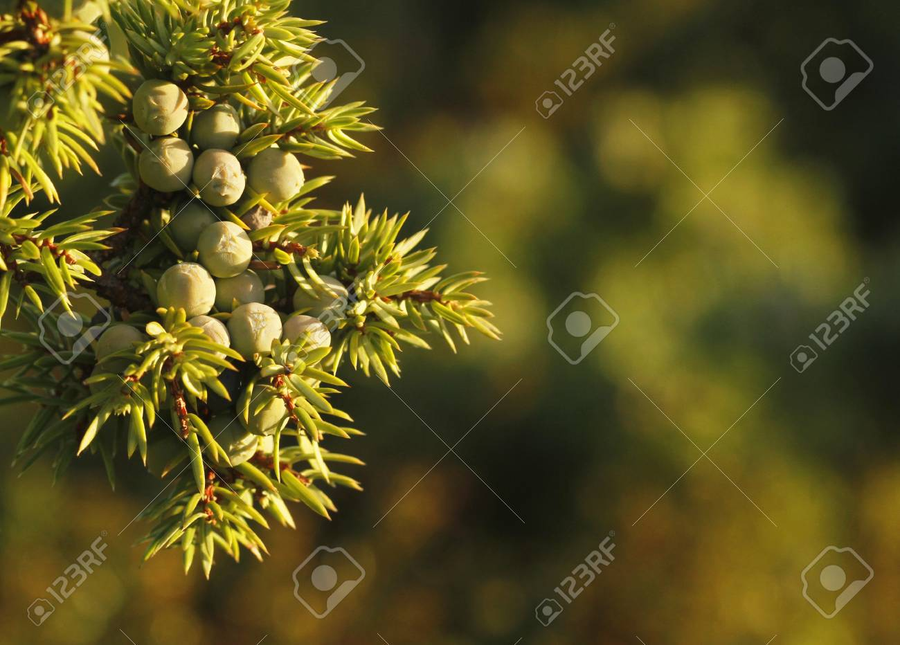 Young Berries Of Common Juniper Juniperus Communis In Kokar