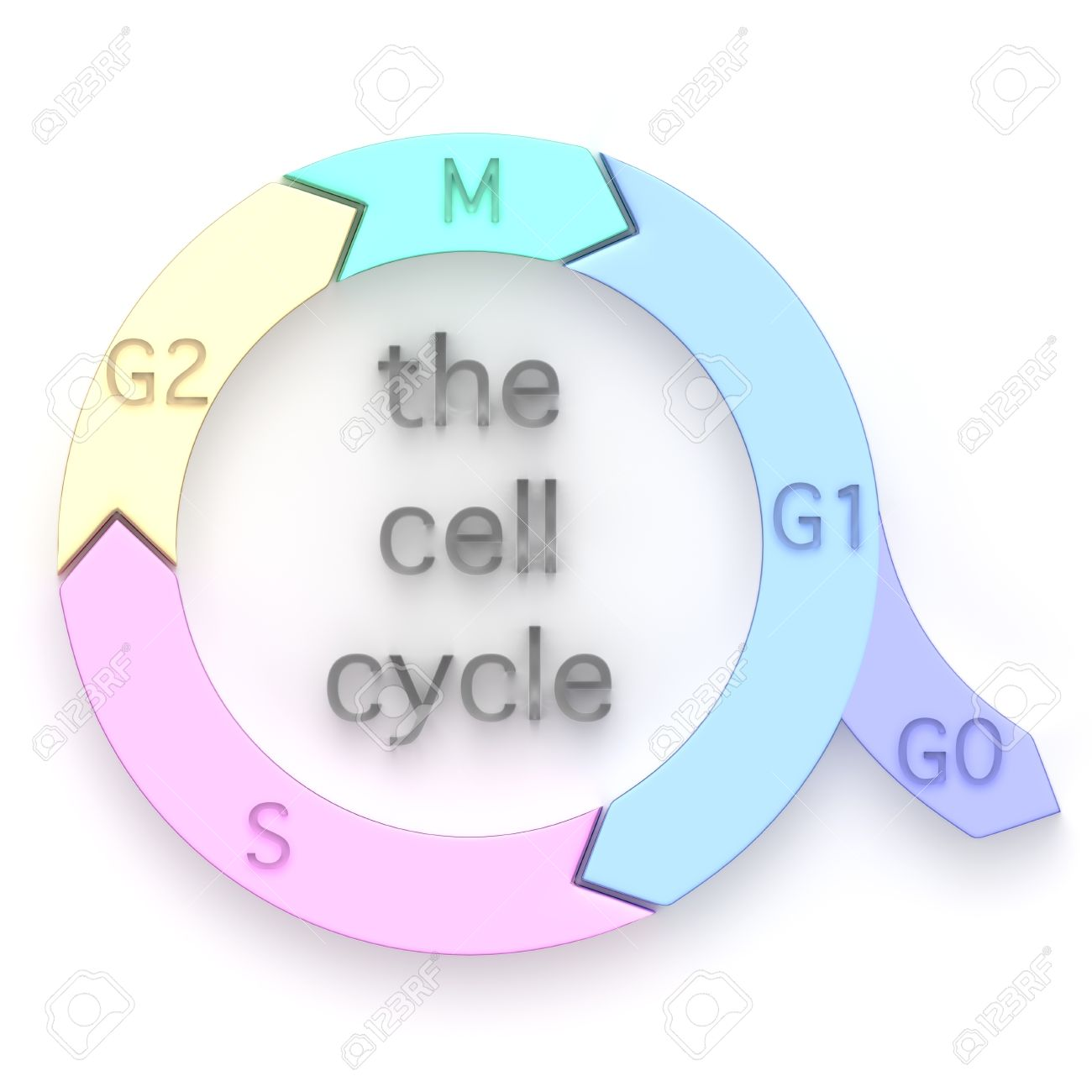 Diagram showing the sequential phases of the cell cycle or cell diagram showing the sequential phases of the cell cycle or cell division cycle pooptronica Images