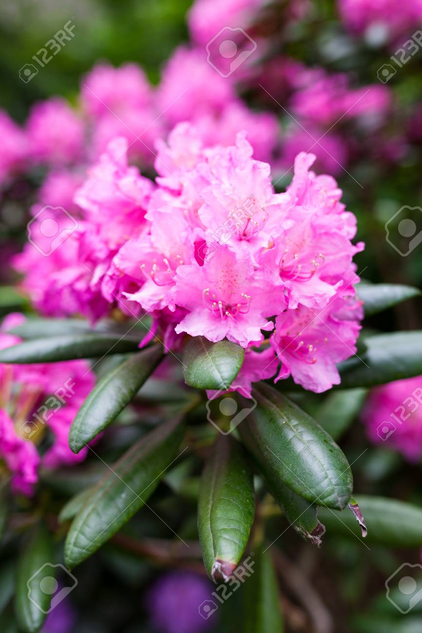 Rhododendron Flower Bush Blooming Stock Photo Picture And Royalty