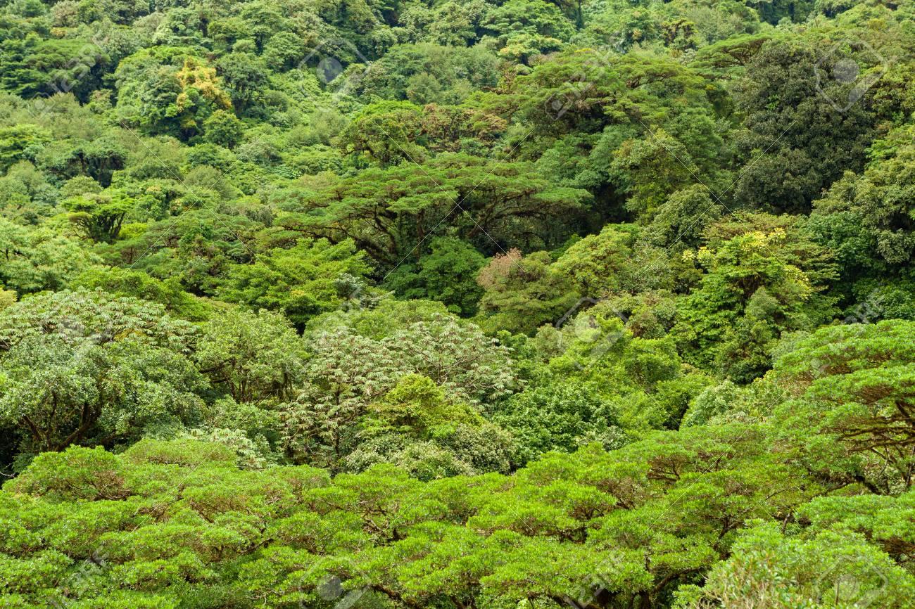 Lush rainforest canopy Monteverde Costa Rica Stock Photo - 84826383 & Lush Rainforest Canopy Monteverde Costa Rica Stock Photo Picture ...