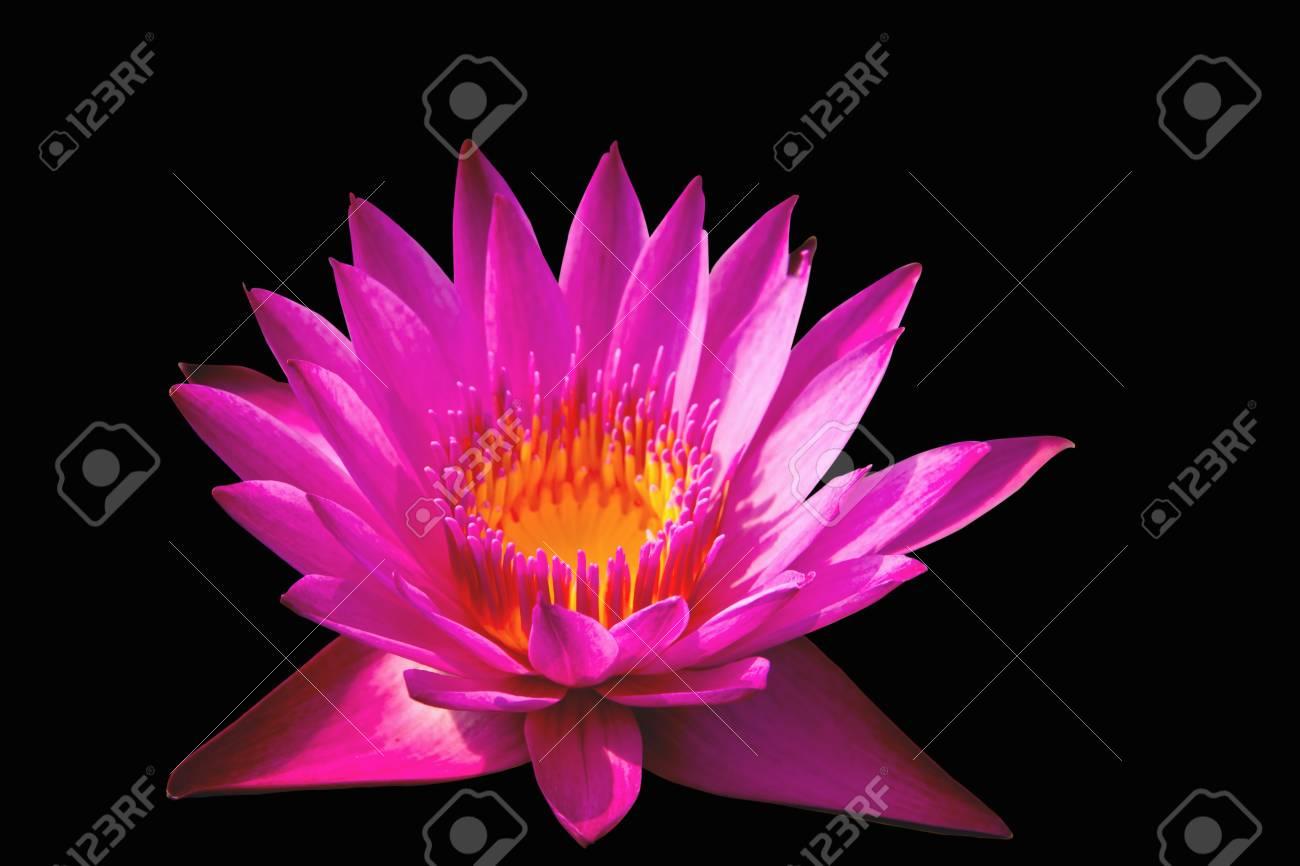 Pink lotus isolated black background Stock Photo - 19568483