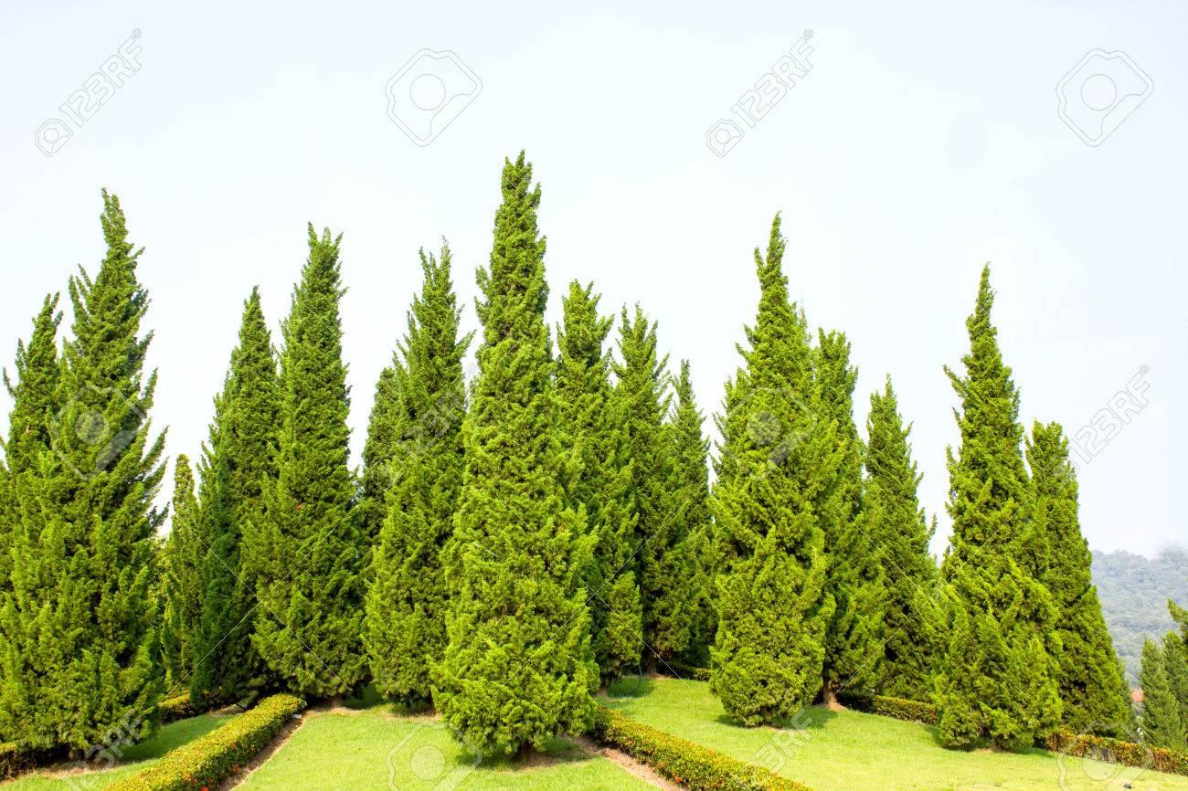 Pine Tree Garden With Blue Sky Stock Photo   23398285