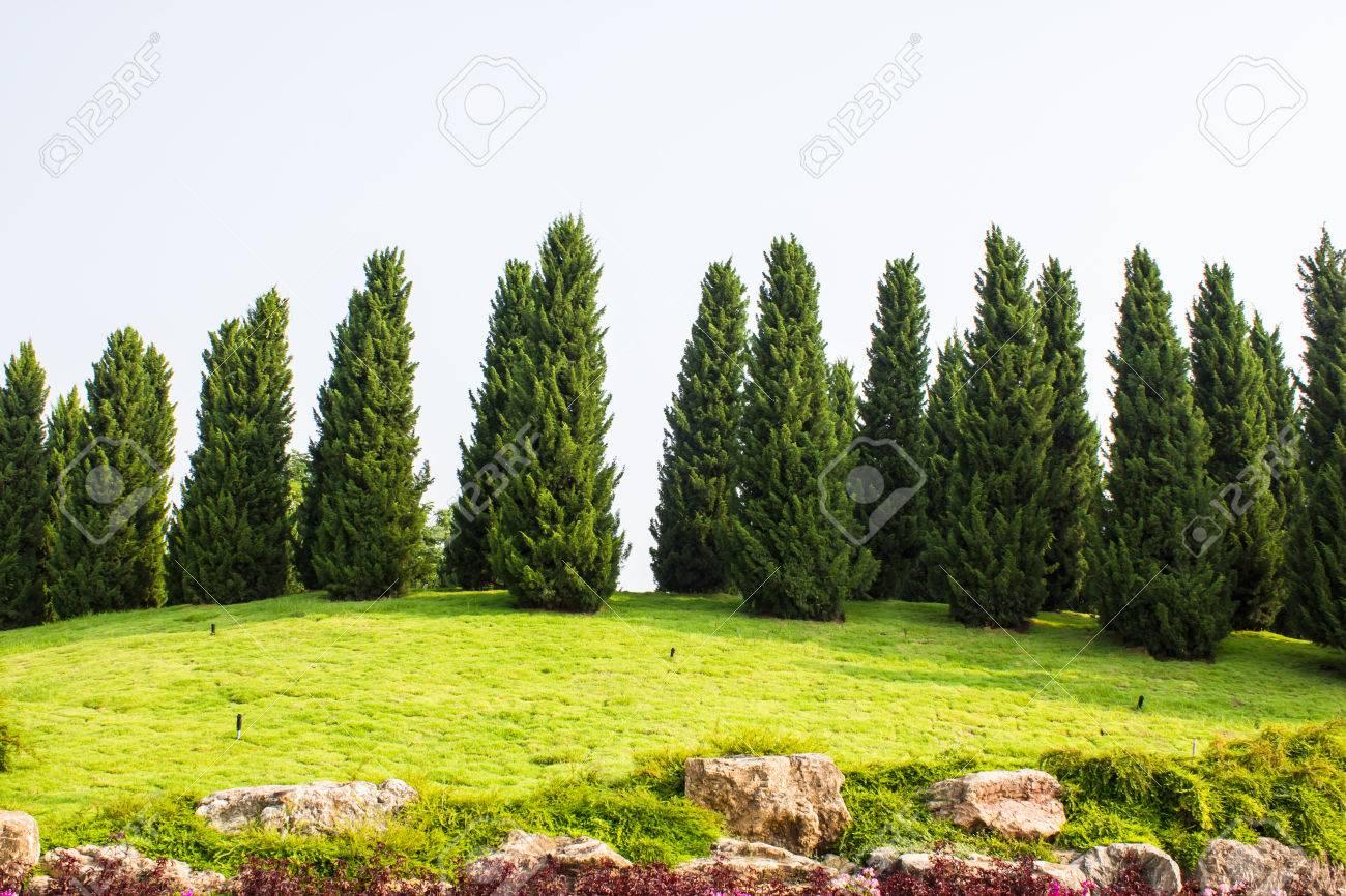 Pine Tree Garden With Blue Sky Stock Photo   23398291
