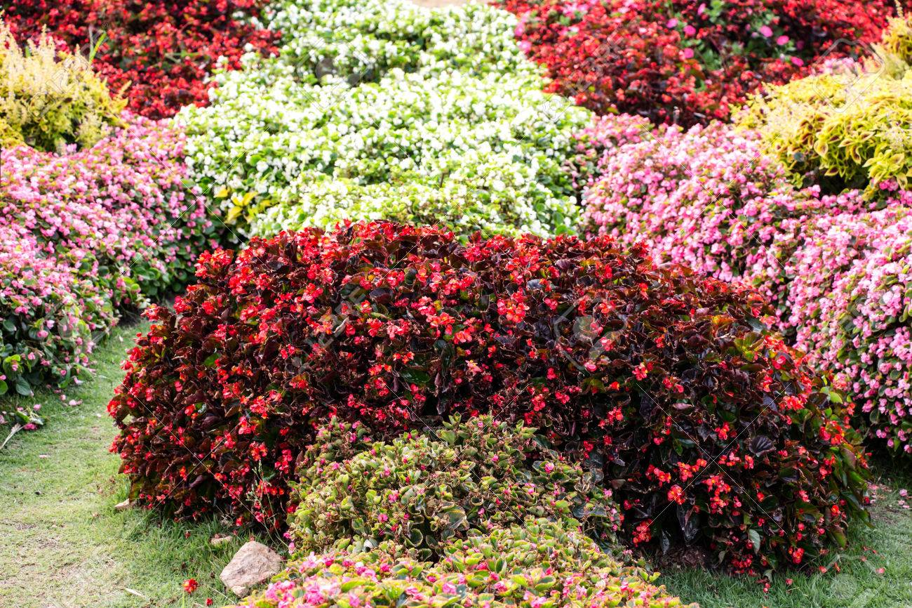 Begonia Garden Stock Photo Picture And Royalty Free Image Image