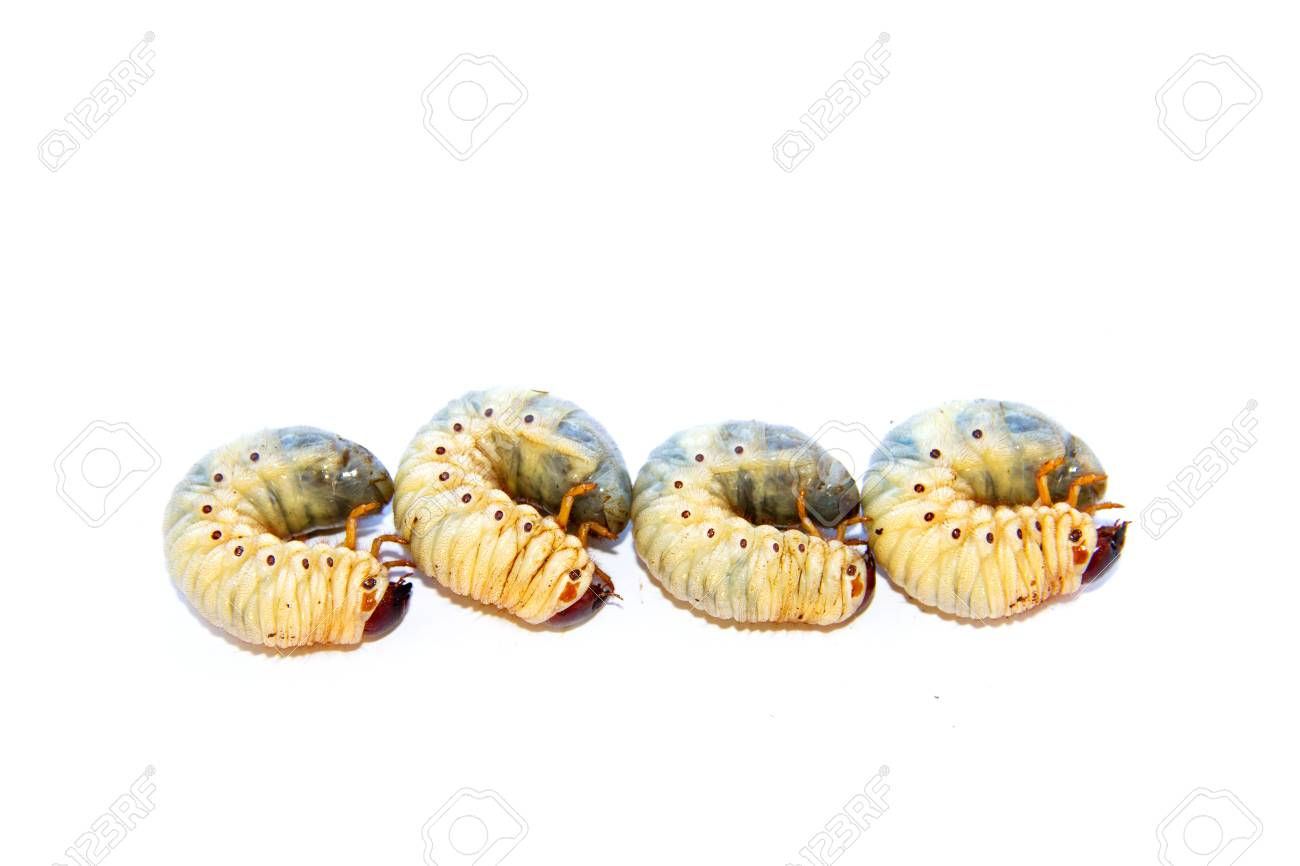 Young Insects Grub Worm On White Background Stock Photo Picture