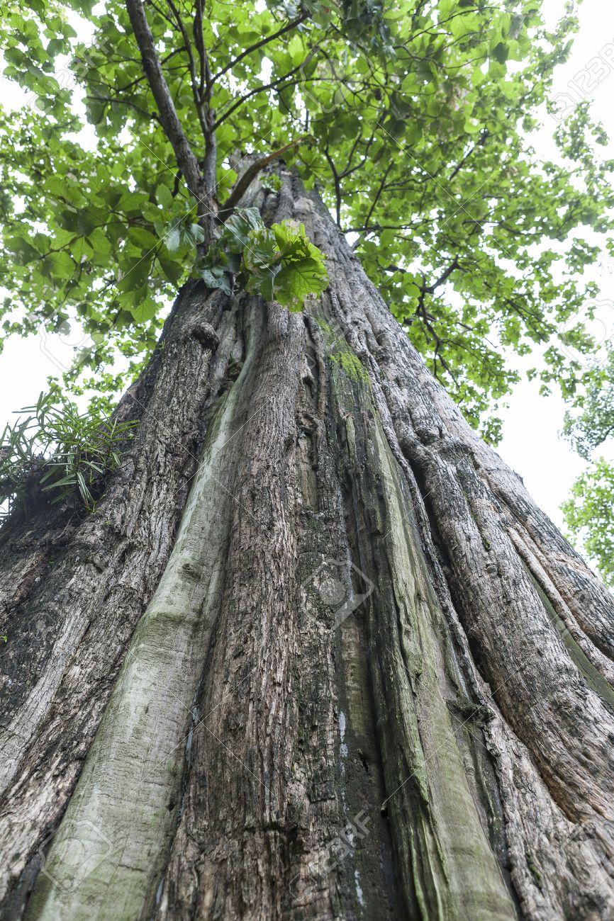Teakbaum blatt  Teak-Baum Größte In Der Welt Zu Thailand Lizenzfreie Fotos, Bilder ...