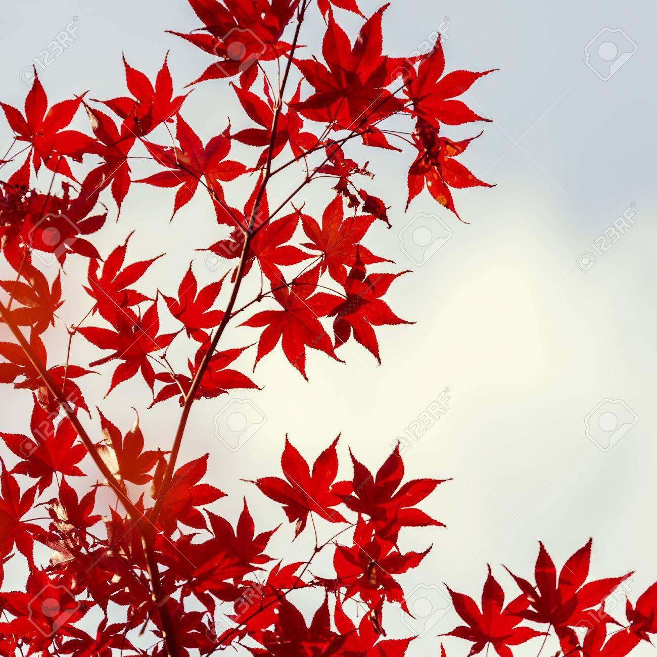japanischer ahorn blatter im herbst japan vintage stil standard bild 61250116