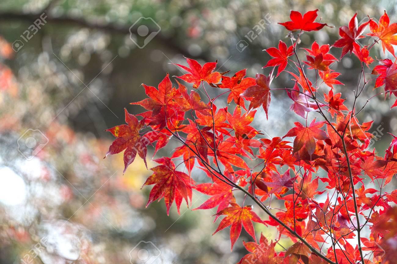 japanischer ahorn blatter im herbst japan standard bild 61250123