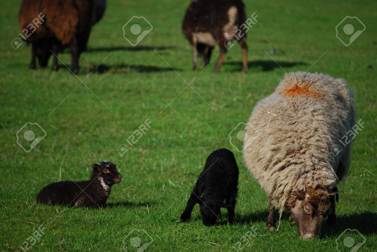 grazing sheep seen at the Ledard Farm, Kinlochard, Scotland in May Stock Photo - 3222014