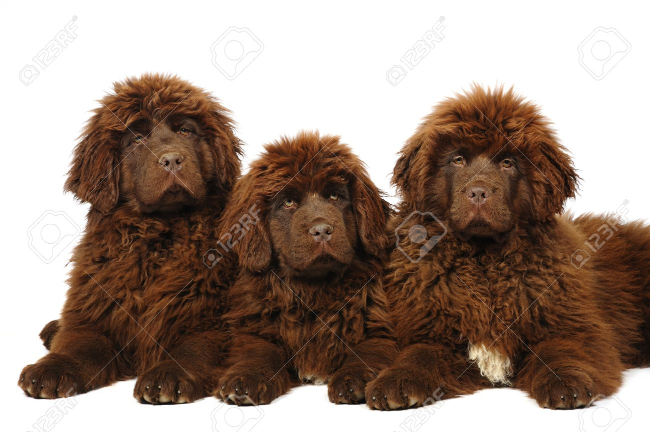 A Group Of Three Newfoundland Dog Puppies In Studio Stock Photo